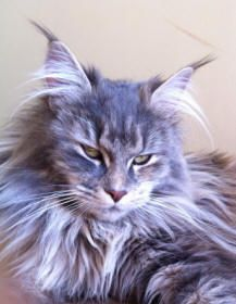 Maine Coon Cat Breeders Australia - Maine Coon Kittens for sale