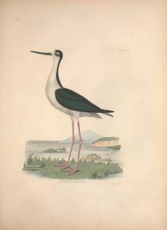 Illustrations of the American ornithology of Alexander Wilson and Charles Lucian Bonaparte :. Edinburgh :Frazer & Co. ;1835.. biodiversitylibrary.org/page/44104637