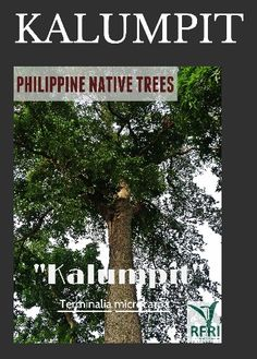 """KALUMPIT (Terminalia microcarpa) Found only in the Philippines! Fruits of Kalumpit are used as jams and wines. The bark of this tree contains tannin which is used to make lotions.  """"Protect our trees, our forests- our source of life!"""" #PhilippineNativeTrees #NativeTrees#Rainforestation #ForestProtection  (The Philippine Native Trees 101 Up Close And Personal, 2013)  June 27, 2016 Best Herbs To Grow, Forest Plants, Wood Tree, Trees To Plant, Forests, Landscape Architecture, Wines, Philippines, Nativity"""