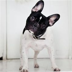 French Bulldog. I want one SO BAD!