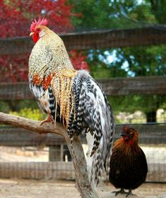 Reminds me of my old cockerel. Although I have to say... No roo could ever beat him in the looks department