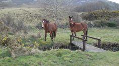 natuerliche Begegnungen - Irland und seine Natur - B & B - Gaestezimmer -   moira.eccuill@gmail.com Irish Cottage, Connemara, Cottage Living, Horses, Live, World, Animals, Ireland, Nature