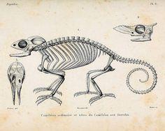 Instant Download Chameleon Skelett Sie von acabinetofcuriositie