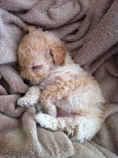 precious Golden (?) Retriever puppy <3 <3 <3 <3