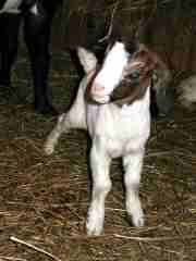 What's a baby goat called?