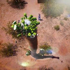 Sahuaro en floración tomado desde un drone en Arizon