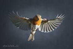 European Robin (S. Latham, 2013)