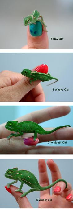 Baby Veiled Chameleon's growth over 6 weeks!  Ask us about how we set up our babies - you can set yours up the same way and see the same healthy, robust growth in your babies!