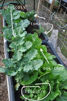 broccoli, bok choy, tomatoes and cilantro growing in my raised urban garden. how to garden, pics and plans on link. Plant a spring garden and enjoy eating what you grow!