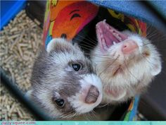 Convincing my boyfriend that we should get ferrets..... There cute wittle faces
