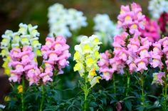 How to Grow and Care for the Snapdragon Flower in Containers.