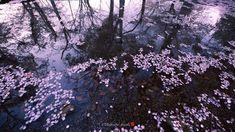 sakura fiori di ciliegio della primavera giapponese