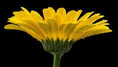 Yellow splendor. by kees ijzerman: Fine Art Photography #photography #amazingpics http://alldayphotography.com