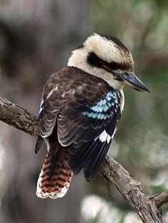 Australian Kookaburra (by jennie-robyn) Pretty Birds, Beautiful Birds, Animals Beautiful, Beautiful Pictures, Australian Painting, Australian Birds, Exotic Birds, Colorful Birds, Exotic Animals