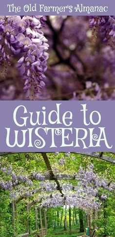 The Complete Old Farmer's Almanac guide to Wisteria: How to plant, grow, and cultivate Wisteria. Information for Wisteria on Almanac.com!