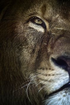 Our lions are so firece, precisely how we need them to be.