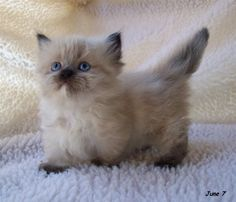 A Munchkin cat....another level of cuteness. - Imgur