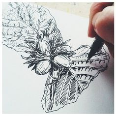 Quick sketch for #inktober today, hazelnuts and foliage. Always interesting to study both sides of the leaf. #inktober2015, #blackpen, #sketchbook, #sketching, #drawing, #nature, #foliage, #hazelnuts, #illustration, #linework.