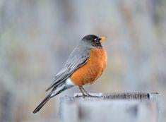 Wisconsin State Bird Robin