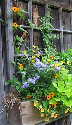 Window box Like the blue flowers in with the yellow Black Eyed Susan vine.