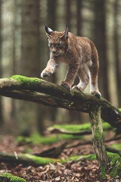 Lynx (Jiří Míchal) | ikwt