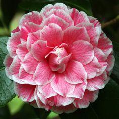 Camellia japonica 'Hikarugenji' AKA 'Herme' AKA 'Jordan's Pride' (Japan, by 1859)