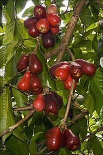 Pomarosa or Malay Apples growing in the mountains of Puerto Rico. Very delicious and refreshing!