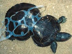 turtle shell distorted by plastic waste in the Pacific Ocean