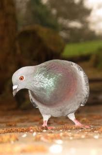 pigeon perks