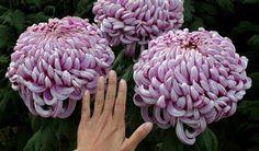 Studio Floral Dora Santoro: Crisântemo Roxo