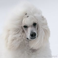 Song - white standard poodle