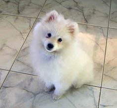 The Japanese Spitz is 12 to 15 inches tall (to shoulders) and weighs 11 to 22 pounds.
