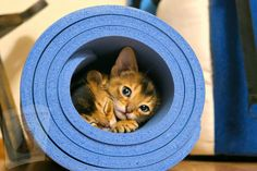 Abyssinian Kittens, Cat Roll, Chartreux Cat, Purebred Cats, Egyptian Cats, Feline Leukemia, Cat Costumes, Buy A Cat, Cat Breeds