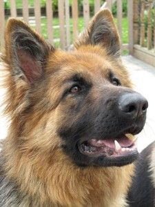 Learn More About the Long Haired German Shepherd - Dogable