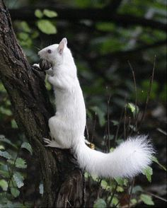 animals - slide 41 An albino squirrel carries a nut in it's mouth as it climbs up a small tree.An albino squirrel carries a nut in it's mouth as it climbs up a small tree. The Animals, Cute Baby Animals, Fruit Animals, Strange Animals, Wild Animals, Beautiful Creatures, Animals Beautiful, Rare Albino Animals, Cute Squirrel