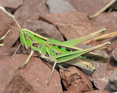 An online resource devoted to North American insects, spiders and their kin, offering identification, images, and information. Grasshoppers, Pennsylvania, Insects, Female, Nature, Naturaleza, Nature Illustration, Off Grid, Natural