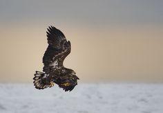 #White_Tail_Sea_Eagle - I named this image (Vibrant Juvenile) - copyrighted - bruna@thrumyafricanlens.co.za
