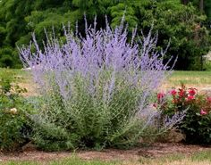 Xeriscape Texas Native Plants For Drought Tolerant Landscaping In Austin Texas. Full Sun, Part Sun, Deer Pressure, Xeriscape Salvia, Texas Landscaping, Landscaping Ideas, Russian Sage, Deer Resistant Plants, Drought Tolerant Plants, Colorful Garden, Ornamental Grasses, Plantation