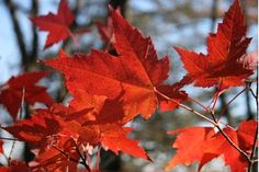 How to Preserve Autumn Leaves With Glycerin | eHow