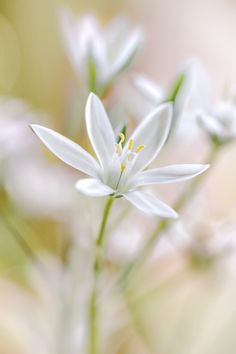 Star of Bethlehem by Mandy Disher            Mandy Disher: Photos                                 #nature #photography