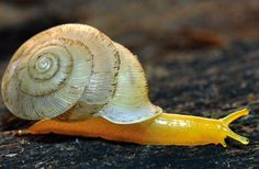 Three New Species of Carnivorous Snails Discovered in Thailand - Carinartemis striatus - The three new species belong to the family Streptaxidae, a family of near-pan-tropical carnivorous land snails which occur in tropical and sub-tropical regions of the world, from South America, Africa through India, to Japan and Asia. They hunt various soil invertebrates