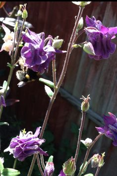 Aquilegias and a bumble bee in the garden.