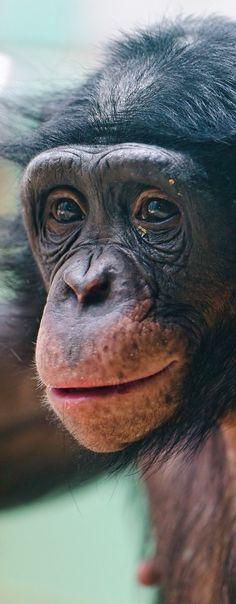 **bonobo the chimp