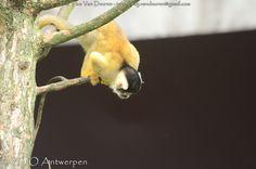 Boliviaans doodshoofdaapje - Saimiri boliviensis - black-capped squirrel monkey | by MrTDiddy
