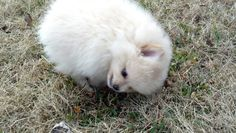 Coco! Mad Pomeranian puppy!! Pomeranian Puppy, Pomeranians, Ferret, Mad, Puppies, Dogs, Animals, Cubs, Animales