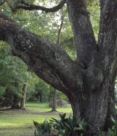 Old Southern Live Oak Tree with hanging moss