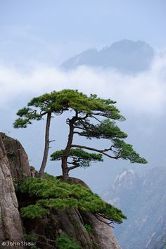 Chinese white pine, Pinus armandiiin, at Mt. Huangshan (Yellow Mountain), China. Mt. Huangshan is a UNESCO World Heritage Site.