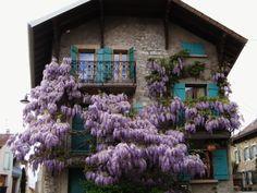 イヴォワールの街のお家を飾る藤の花