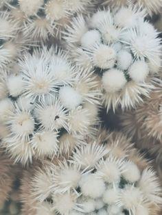 Dandelion, Flowers, Plants, Cacti, Dandelions, Plant, Taraxacum Officinale, Royal Icing Flowers, Flower