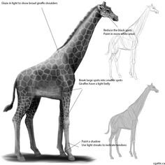 giraffe drawing step 4: glazing the majority of the back side, bits of tail/head to show the light source. Use a darker color and work on the overall underbelly where the light will not penetrate properly. Emphasis the darker shades of the inner limbs to give you this effect.